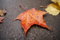 Fallen autumn maple leaf on wet asphalt Stock Images
