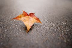 Fallen autumn maple leaf on wet asphalt Stock Photos