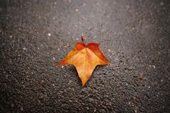Fallen autumn maple leaf on wet asphalt Royalty Free Stock Photography