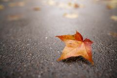 Fallen autumn maple leaf on wet asphalt Royalty Free Stock Photos