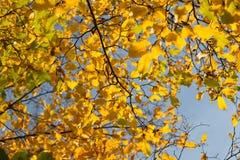 Fallen autumn maple leaves Royalty Free Stock Photo