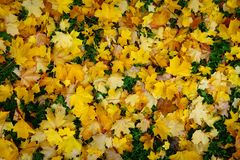 Fallen autumn maple leaves at the ground Royalty Free Stock Photography