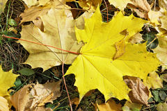 Fallen autumn maple leaves Royalty Free Stock Photography