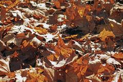 Fallen autumn maple leaves lying on the ground . Selective focus at the central leaf. Stock Photo