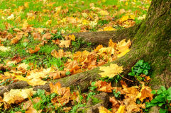 Fallen autumn maple leaves lying on the ground Stock Photo