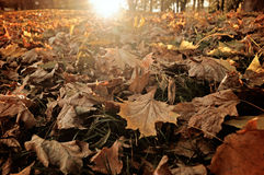 Fallen Autumn Maple Leaves Lying On The Ground At Sunrise Stock Photography