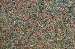Fallen autumn pine needles background Royalty Free Stock Photo
