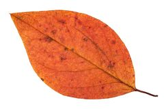 Fallen autumn red leaf of apple tree isolated. On white background Stock Photos