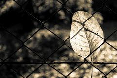 Fallen autumn walnut tree leaf caught on rusty wire mesh fence Royalty Free Stock Image