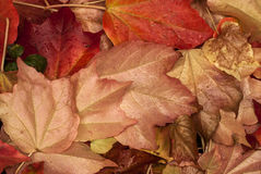 Fallen autumn wet leaves. Fallen autumn colored wet leaves closeup as background royalty free stock image