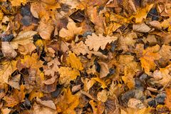 Fallen autumn yellow leaves lying on ground. Leaf texture background. Royalty Free Stock Photos