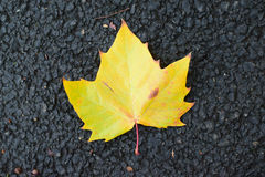 Fallen autumn yellow maple leaf on road Royalty Free Stock Images