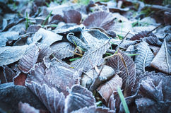 Fallen autumnal leaves with frost. Fallen autumnal leaves lay on grass with frost, stylized photo with blue tonal correction filter Royalty Free Stock Images