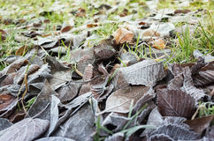 Fallen autumnal leaves lay on ground. Fallen autumnal leaves lay on grass with frost, closeup photo with selective focus Royalty Free Stock Photos