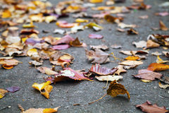 Fallen autumnal leaves lay on urban asphalt road. Fallen autumnal leaves lay on the urban asphalt road. Shallow depth of field Royalty Free Stock Photo