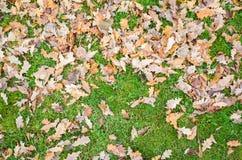 Fallen autumnal oak leaves lay on grass Stock Photo