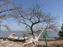 Fallen baobab. The Old Landing Place on Kunta Kinteh Island, Gambia - home to a ruined fort where slaves were held prior to being transported Royalty Free Stock Images
