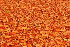 Fallen beach leaves autumn background Stock Image