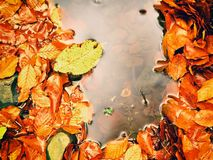 Fallen beech leaves and stones in water of mountain river. Autumn colors. Symbol Royalty Free Stock Photography