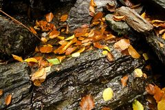 Fallen beech leaves on wet stones Stock Images