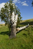 Fallen birch and the fact that it is growing. Old broken tree and a new life from old wood Royalty Free Stock Images