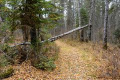 Fallen birch tree across a trail in the forest at Duck mountain Provincial Park, Manitoba. Fallen tree across a trail in the forest at Duck mountain Provincial Stock Photo