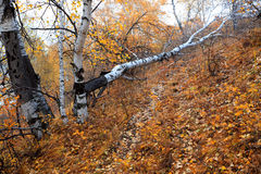 Fallen birch tree in autumn Royalty Free Stock Image