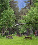 Fallen birch tree in a forest. Stock Photo