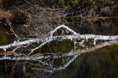 Fallen Birch Tree. Reflects In Water royalty free stock photo