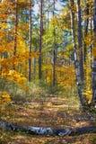 Fallen birch trees on autumn forest path Stock Photos