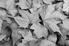 fallen black låter vara white för den phoenix treen Royaltyfri Bild