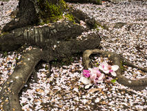 Fallen blossoms and tree roots Stock Photos