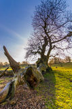 Fallen Branch. A magestic tree at the deer park near Fountains Abbey Stock Images
