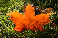 Red maple leaf on grass Stock Photos