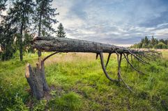 Fallen spruce on the edge of the forest. after the hurricane. distortion perspective fisheye lens view royalty free stock photos