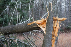 Fallen, broken tree from hurricane damage Stock Image