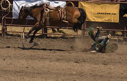 Fallen Bronc Rider. About to receive a kick in the head at 2006 Russian River Rodeo, Duncans Mills, California Royalty Free Stock Images