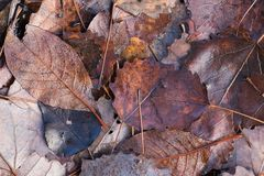 Brown autumn leaves. Fallen brown autumn leaves on the ground royalty free stock image