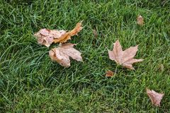 Fallen maple leaves on grass. Fallen brown maple leaves on green grass in a park in the autumn Stock Image