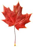 Fallen canadian maple leaf Royalty Free Stock Photography