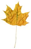 Fallen canadian maple leaf. Dry flat fallen canadian maple leaf isolated on white Stock Photos