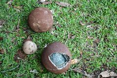 Fallen canonball fruit Royalty Free Stock Photography