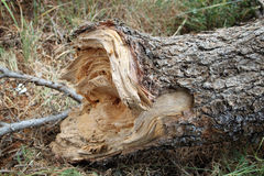 Fallen Cedar Trunk Royalty Free Stock Photo