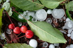 Fallen cherries damaged by hail storm. Fallen cherries with large hail stones Royalty Free Stock Image