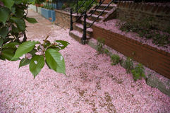 Fallen Cherry Blossoms Royalty Free Stock Photos