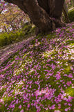Fallen cherry flower pedals in Kenroku-en gardens Royalty Free Stock Photography