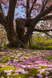 Fallen cherry flower pedals in Kenroku-en gardens Royalty Free Stock Image