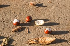 Fallen chestnut fruit on the asphalt in the city close-up stock photos