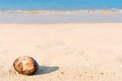 Fallen coconut lies on a  beach Stock Image