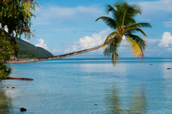 Fallen Coconut Tree hanging horizontal over The. Blue Ocean at a beach in Raja Ampat, Papua New Guinea, Indonesia Stock Photography